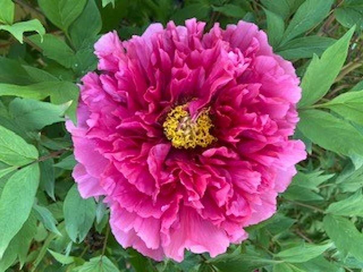 This magnificent peony with rows and rows of petals was grown by Lori Kwiatkowski of Niskayuna. Submitted by Cyndi and Jim Magenis of Guilderland.
