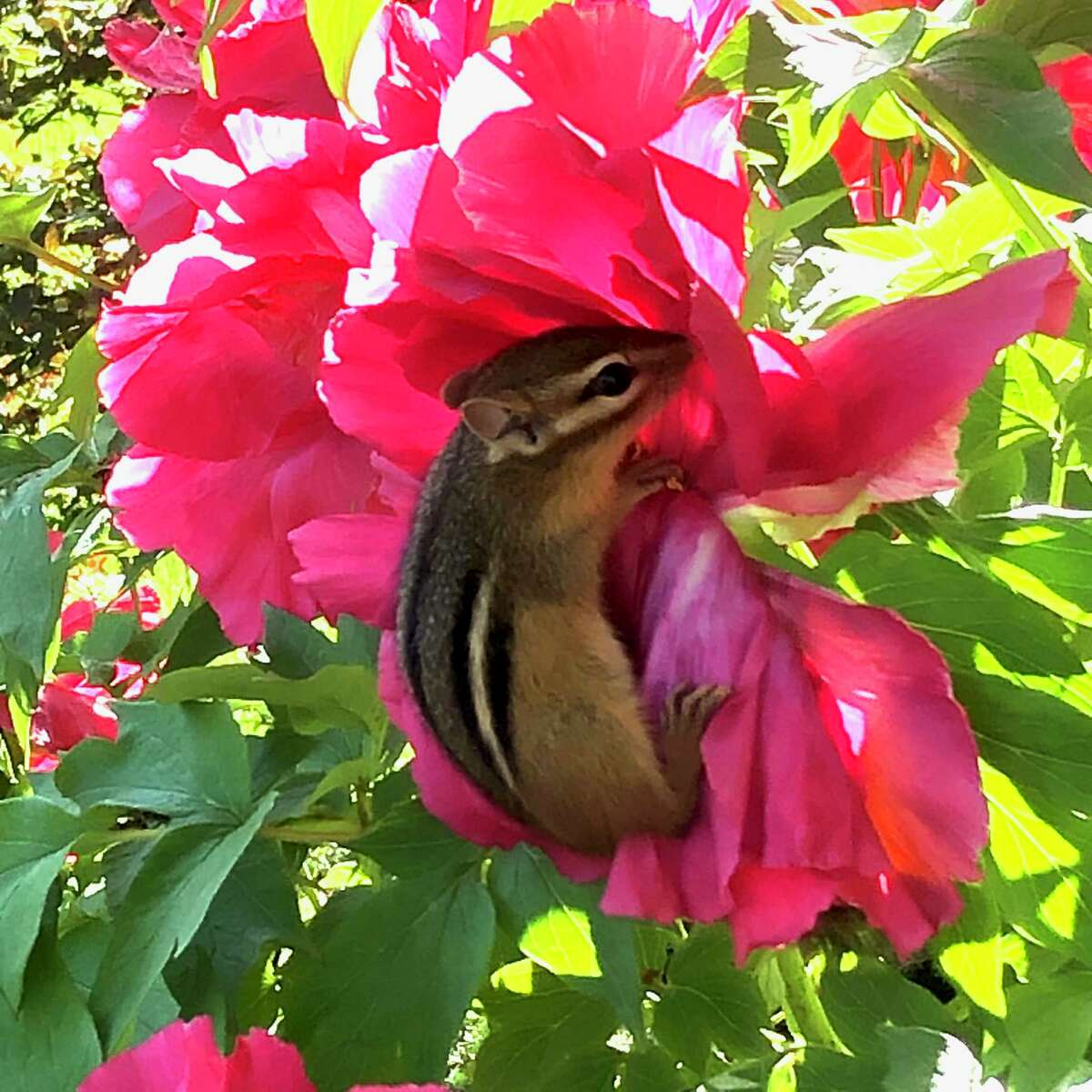 This chipmunk jumped up on my tree peony blossom to hide from a visiting cat that was about to pounce on it. We managed to distract the cat and preserve the chipmunk, but what genius that little creature showed in find such a place to hide. (Judith Fetterley of Glenmont)