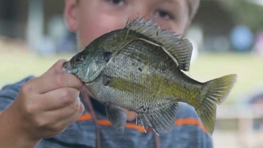 A large bream like this one puts up a fight when caught on light tackle and makes excellent table fare. Photo: TPWD