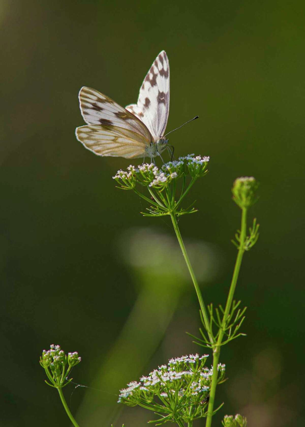 Butterflies, like this Checkered White, need host plants for breeding and nectar plants for feeding.