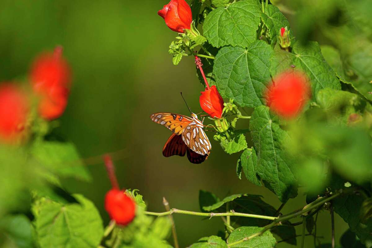 Turk's cap, a hardy native garden plant, attracts a variety of butterflies including this gulf fritillary. Photo Credit: Kathy Adams Clark. Restricted use.