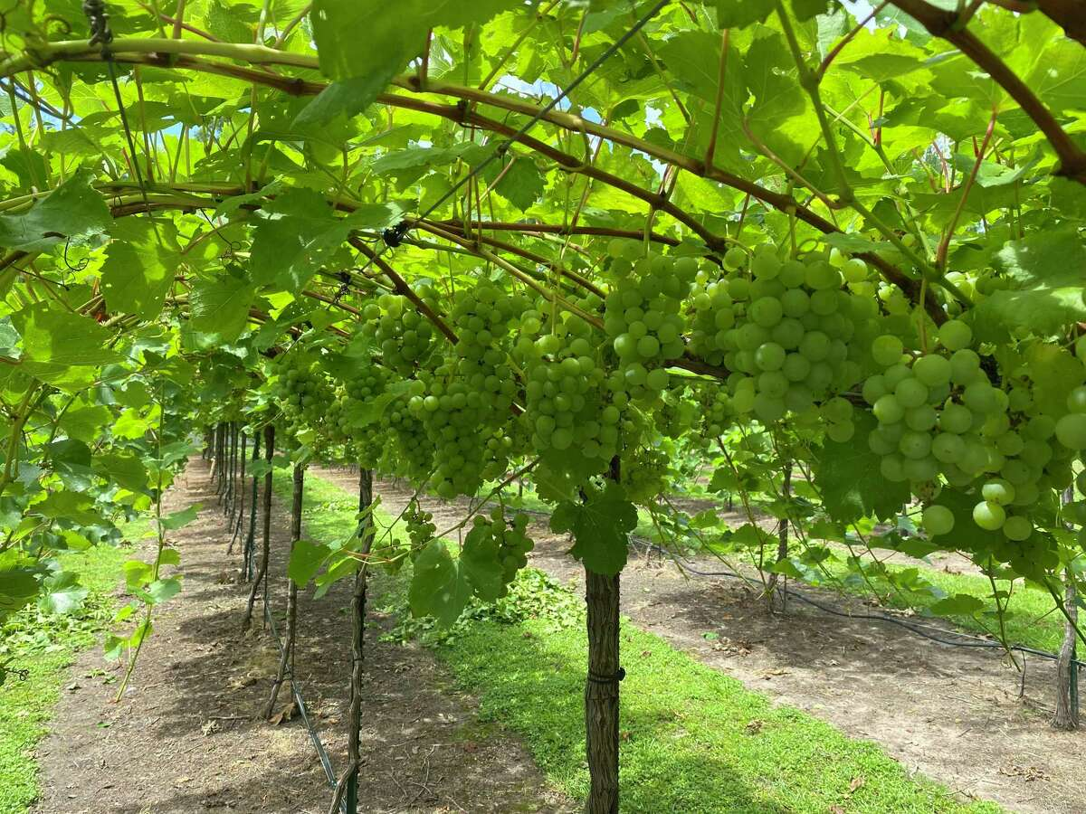 Texas had its first grapes harvested this year at Wild Stallion Vineyards last Saturday on West Rayford Road in Harris County. Note, the picture is from a previous harvest.