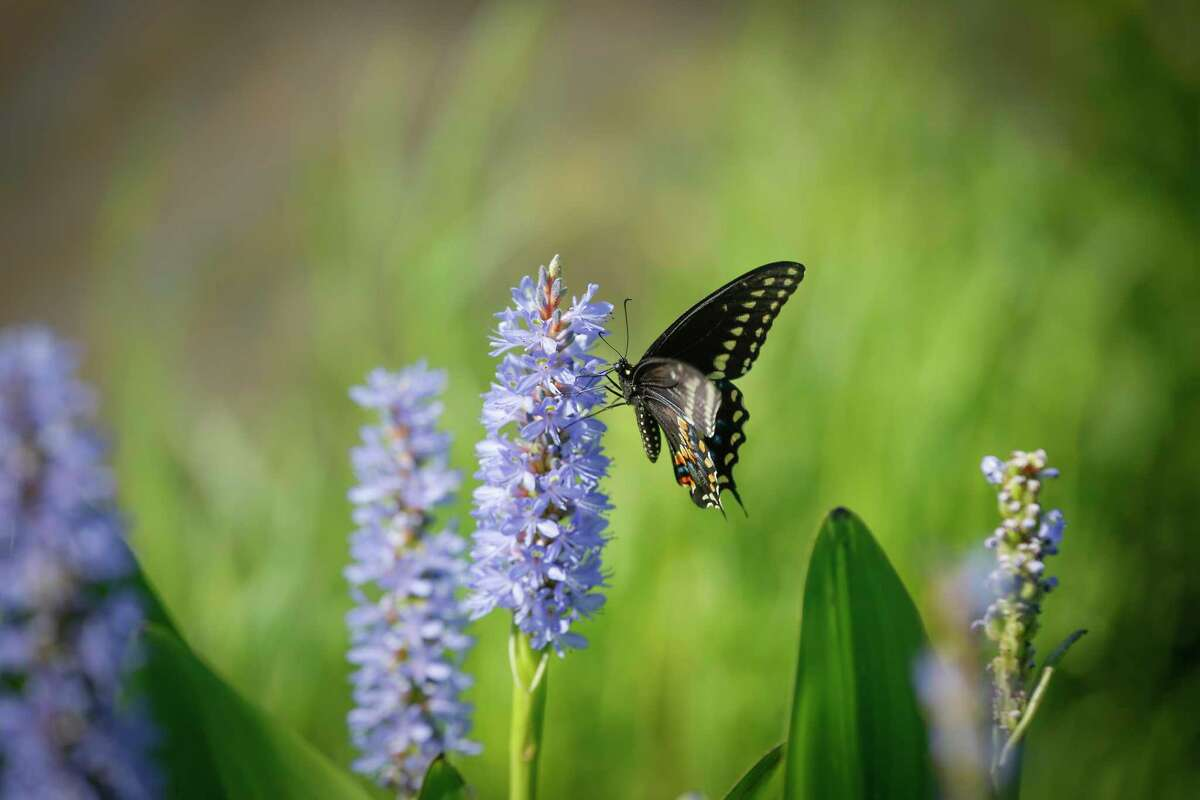 A butterfly lands on a Pickerel weed at the Houston Botanic Garden.