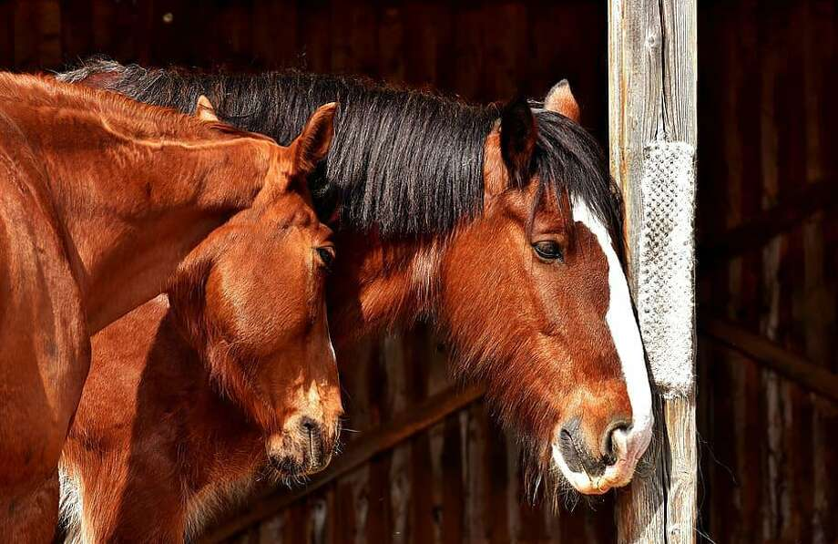 Dr. Leslie Easterwood, a clinical assistant professor at the Texas A& College of Veterinary Medicine & Biomedical Sciences, says the equine strangles vaccine is one that is of particular importance for horse owners in protecting their animal. Photo: Texas A&M University