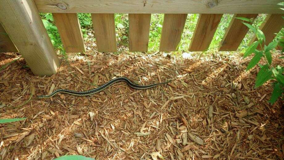 The writeris never alarmed to see garter snakes near his home, like this onepatrolling the landscape,since they are very helpful in eliminating rodentsand other pests. (Tom Lounsbury/Hearst Michigan)