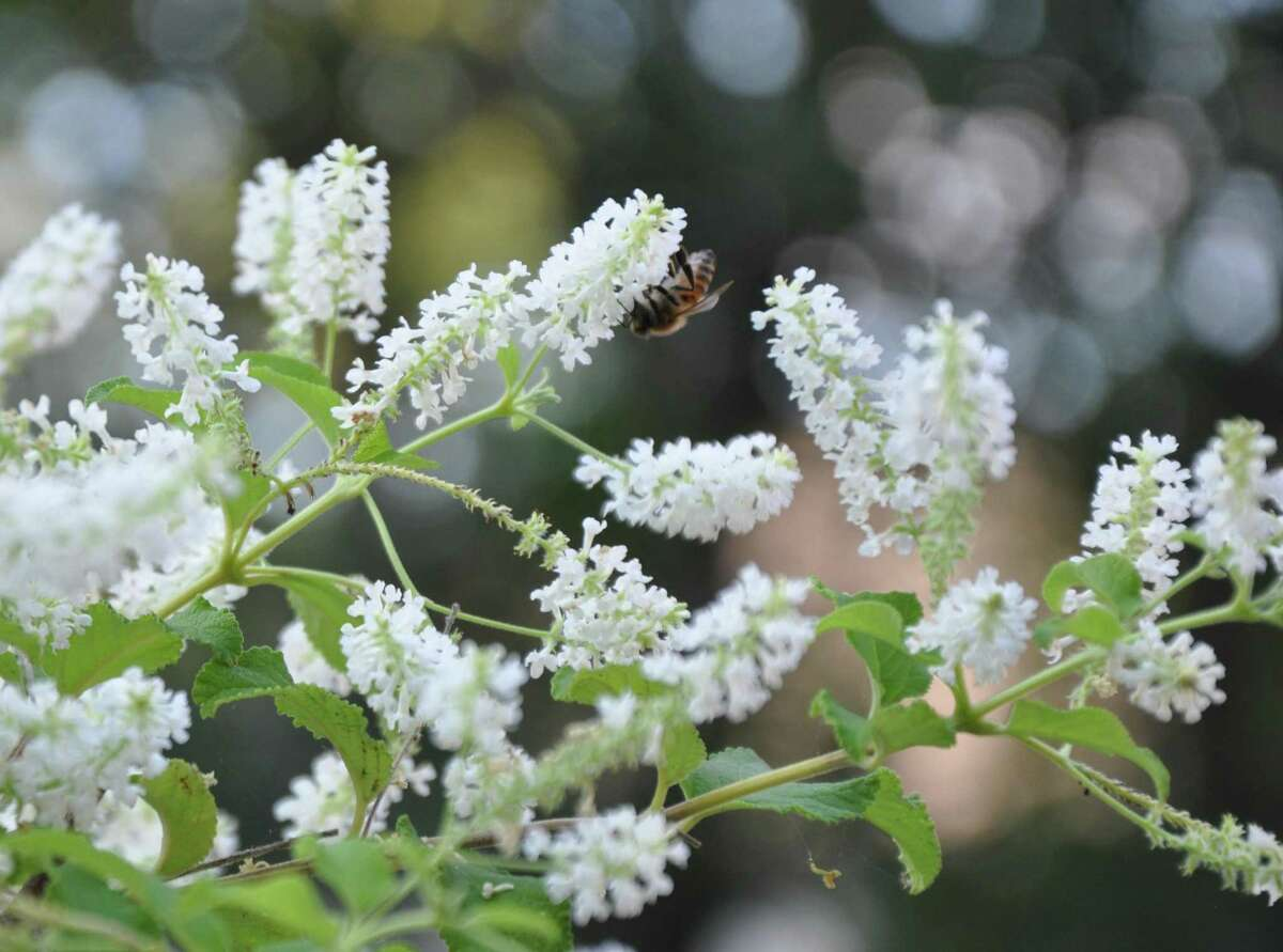 The sweet scent of almond verbena attracts pollinators.