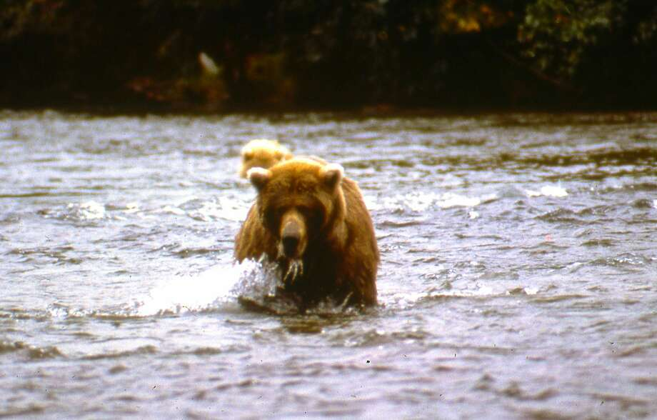 Mr. Griz, an Alaskan brown bear, wards off Tom Stienstra from a fishing spot in Katmai National Park. Photo: John Reginato / Special To The Chronicle