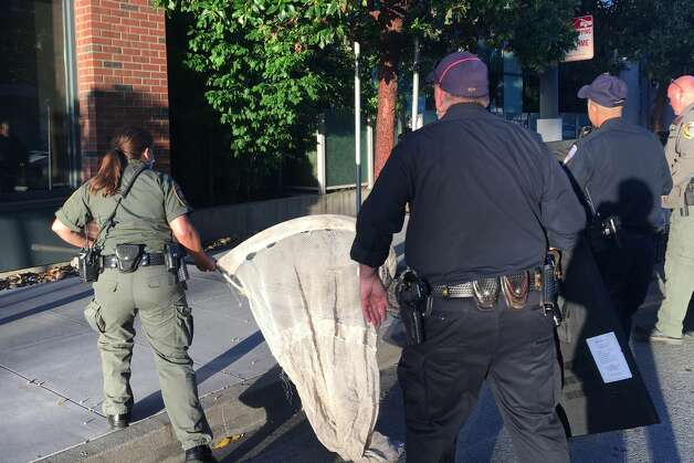 """At 5:30 a.m. Thursday, Animal Care & Control received a call that the lion was outside an apartment complex in Mission Bay near Oracle Park, where the San Francisco Giants play. The San Francisco Police Department were immediately at the scene and Corso and Pone quickly followed. The animal was crouching in a planter between the wall of a building and a six-foot-tall wall of a patio area. Corso started making calls to find a veterinarian who could provide tranquilizers when the mountain lion darted out from behind a planter box. She jumped out of her car, clapping and telling the lion to go back, and driving it back into its hiding spot. """"I was a good distance away, a good 15 feet,"""" she said. """"I'm definitely a safety-first person. I was a keeper at the zoo, and I've raised baby tigers. I've had to grab up a baby tiger. I wasn't going to put myself into danger."""" At that point, Corso saw the size of the animal and she realized she could catch it with a net rather than using tranquilizers and reduce the risk of harming it or losing it. Photo: SF Animal Care & Control"""