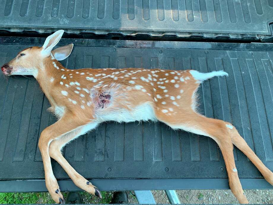 Michigan Department of Natural Resources conservation officers are seeking information on a male fawn shot illegally Wednesday, west of Rose City in Ogemaw County. (Courtesy photo)