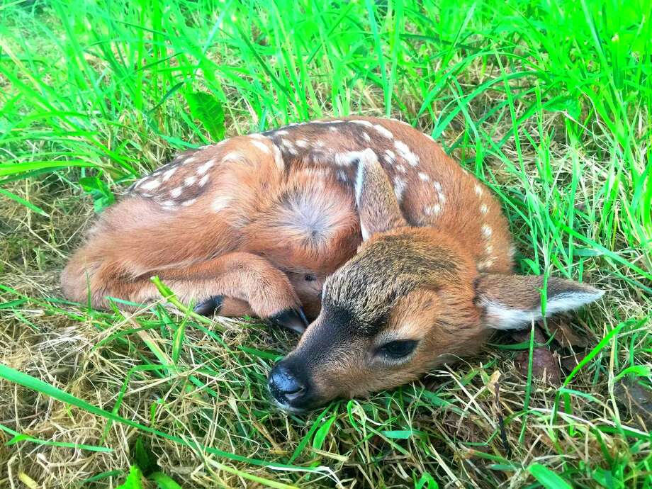 This day-old blacktail fawn, a subspecies of mule deer, was photographed using a telephoto lens May 24, laying in a pasture near Langley, Wash. Its mother soon returned after grazing and led it slowly away. Photo: Dean Fosdick / Associated Press / Dean Fosdick