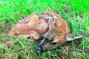 This day-old blacktail fawn, a subspecies of mule deer, was photographed using a telephoto lens May 24, laying in a pasture near Langley, Wash. Its mother soon returned after grazing and led it slowly away.