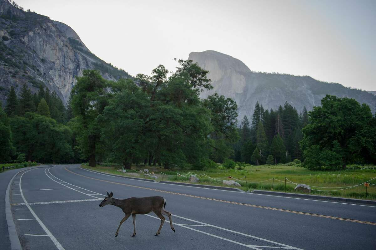 A deer crosses the road at Yosemite National Park on Thursday, June 11, 2020. Thursday marked the reopening of the park.