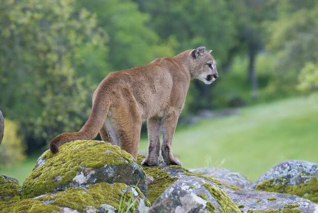 """California Fish and Wildlife estimates 4,000 to 6,000 mountain lions live in California, but McDonald said this number may be inflated. Mountain lions are solitary, shy animals that avoid people. """"They are very genetically programmed to avoid humans,"""" she said. Conflicts between people and lions do occur but are rare. """"There have been only 16 verified mountain lion attacks on humans in California since 1890, six of them fatal,"""" according to California Fish and Wildlife. """"The last documented attack occurred in September 2014 in Santa Clara County."""" Photo: Moose Henderson/Getty Images/iStockphoto"""
