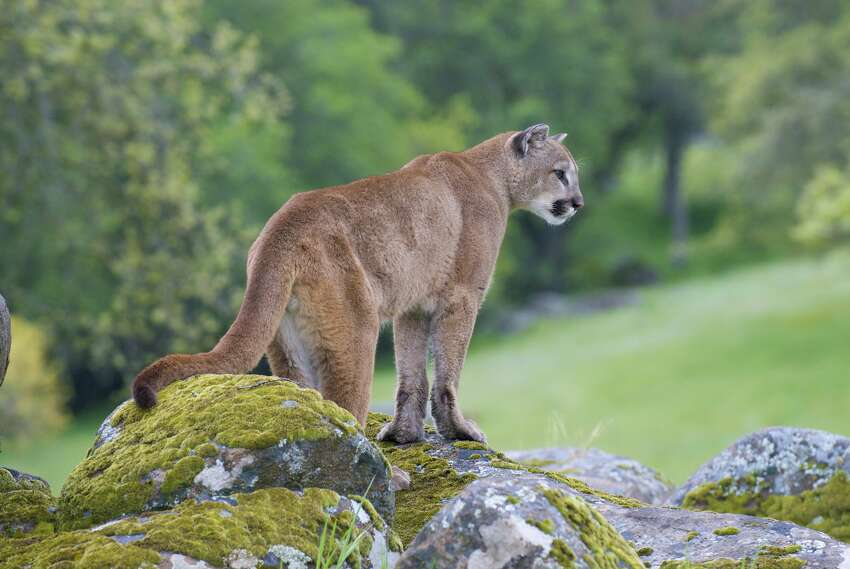 California Fish and Wildlife estimates 4,000 to 6,000 mountain lions live in California, but McDonald said this number may be inflated. Mountain lions are solitary, shy animals that avoid people.