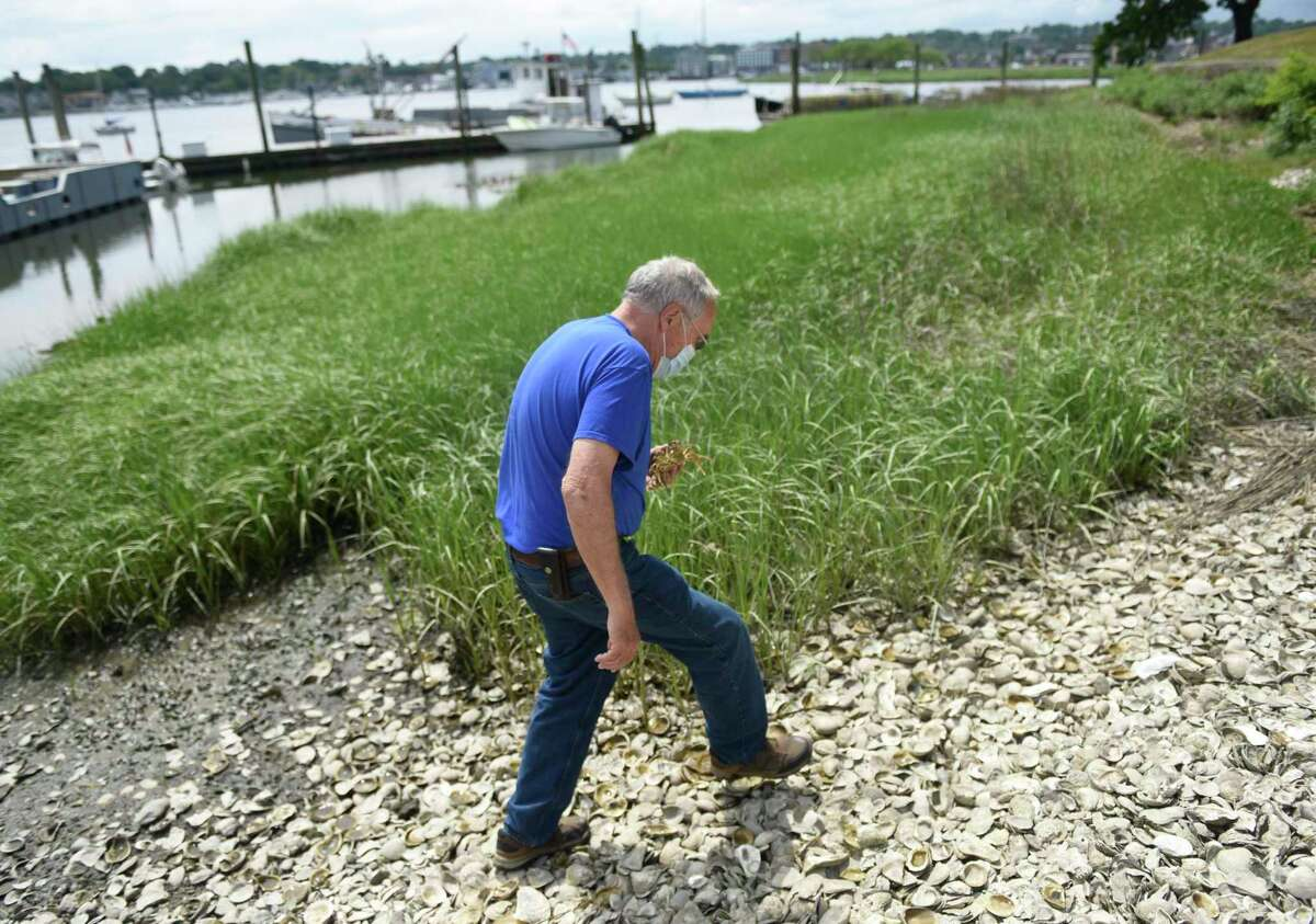 Harbor Watch founder Dick Harris walks along the water by Copps Island Oysters in East Norwalk, Conn. Thursday, June 18, 2020. An invasive species of crab known as the Chinese mitten crab has been spotted recently in the waters of the Housatonic River. The crabs' burrowing activity can compromise the integrity of levees and waterfront construction and rapidly increase stream bank erosion.