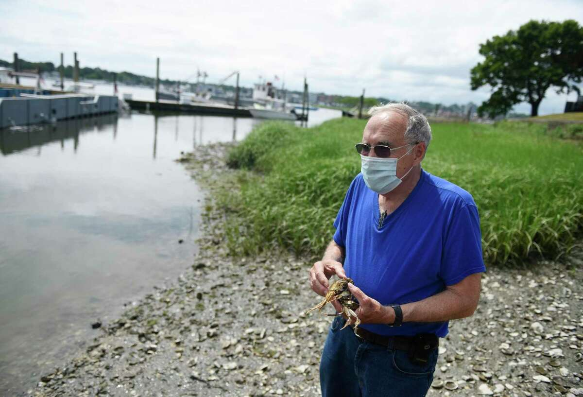 Harbor Watch founder Dick Harris holds three Chinese mitten crabs outside of Copps Island Oysters in East Norwalk Thursday, June 18,. The invasive species of crab has been spotted recently in the waters of the Housatonic River.