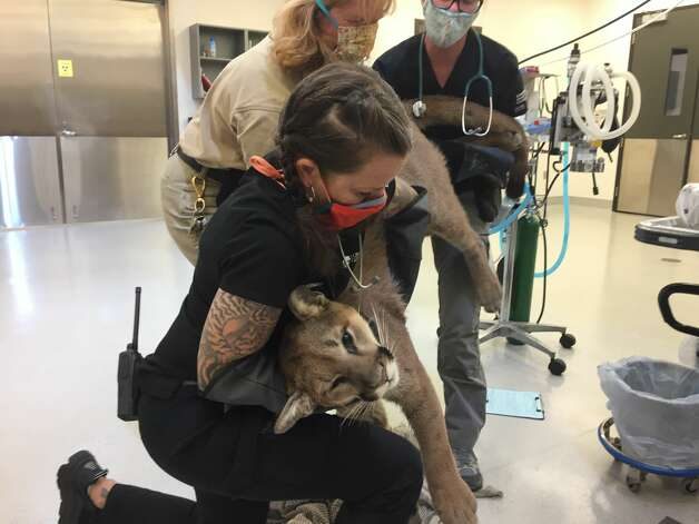 """The lion was transported to the Oakland Zoo for examination, fitted with a GPS collar from the Santa Cruz Puma Project and released in the wild later that afternoon. The animal was healthy, except for being a little dehydrated, and weighed in at 68 pounds. """"It took three people to lift him on the examination table,"""" said Erin Harrison, a spokesperson for the Oakland Zoo. Harrison said the zoo has rescued 12 mountain lion cubs in the past two years and this is the first one that has been released in the wild. """"It's a real problem with these little mountain lion cubs who get separated from their mothers,"""" said Harrison. """"The other 11 were very young, very sick, because mountain lions need to stay with their moms for up to two years to learn how to hunt and to survive."""" Photo: Courtesy Oakland Zoo"""