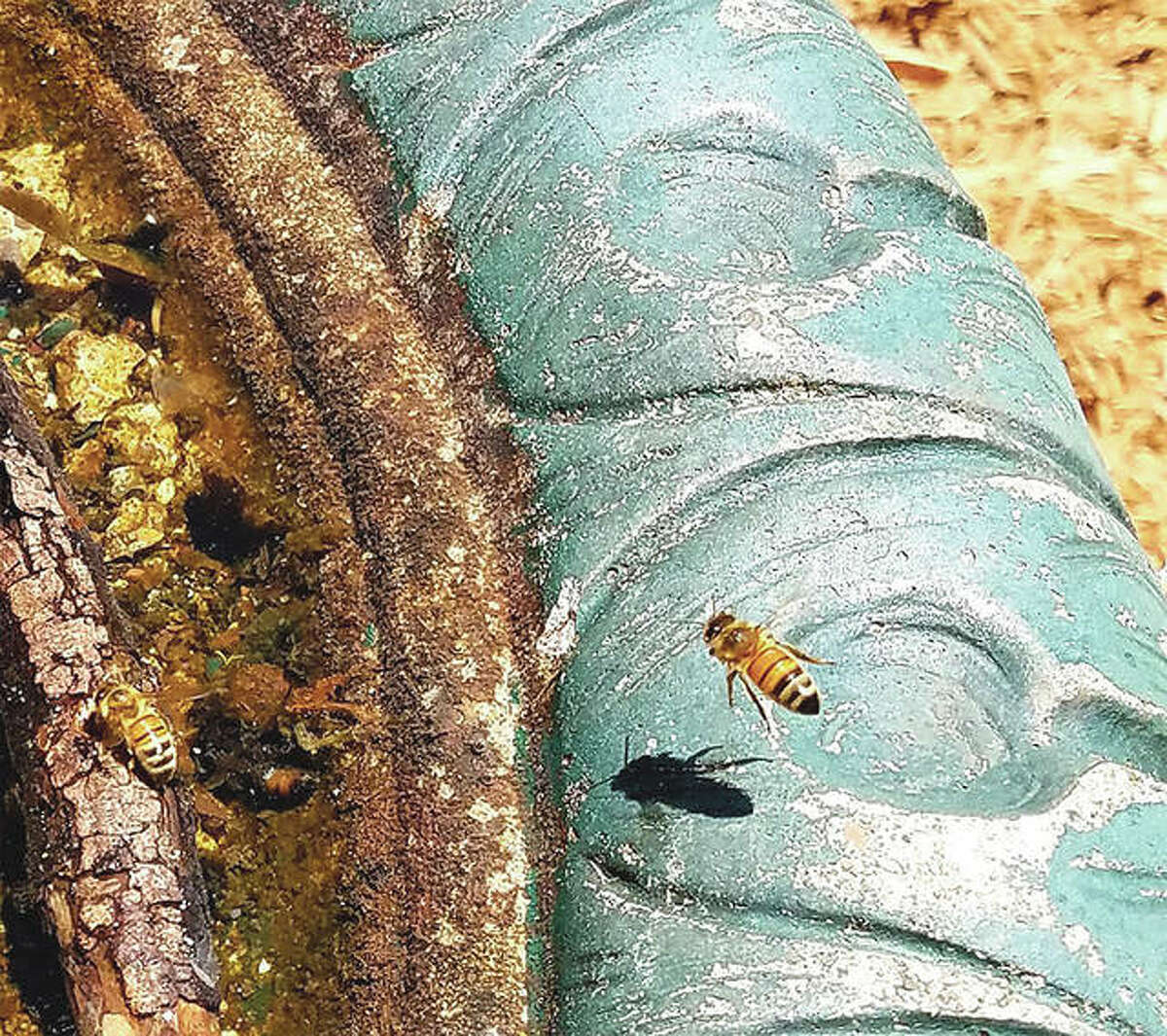 Bees make use of a bird bath in Jacksonville.