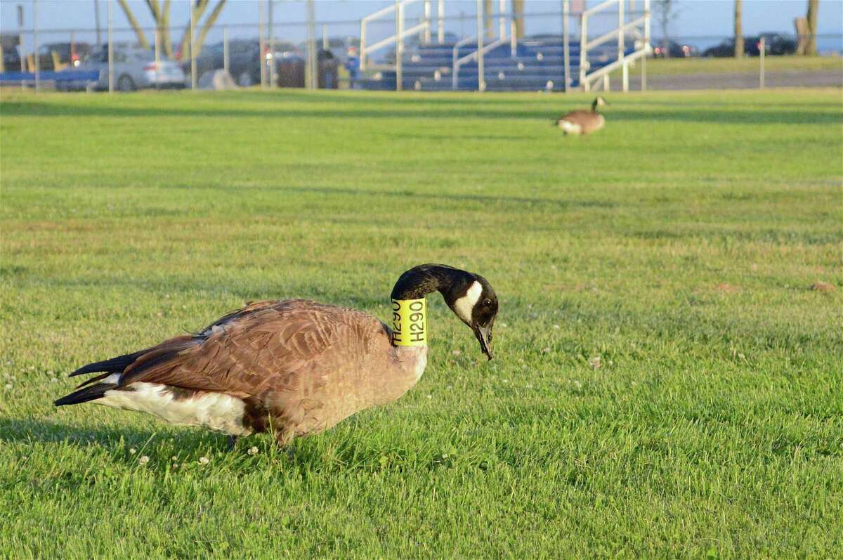 A tagged Canada goose at Compo Beach hangs out on Thursday, June 18, 2020, in Westport, Conn.