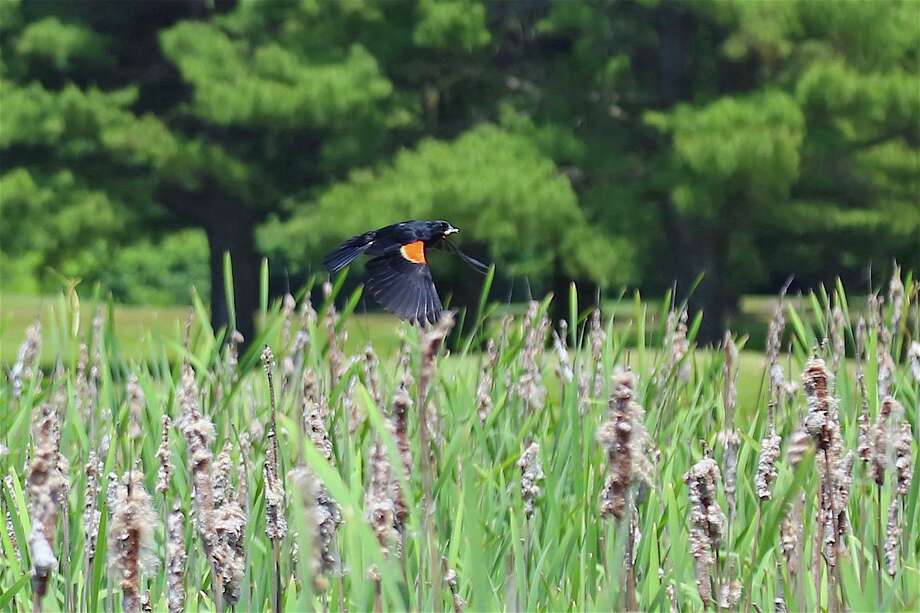 A red-winged blackbird was among the visitors at the Fairchild Wheeler Golf Course on Saturday, June 20, 2020, in Fairfield, Conn. Photo: Jarret Liotta / Jarret Liotta / ©Jarret Liotta 2020