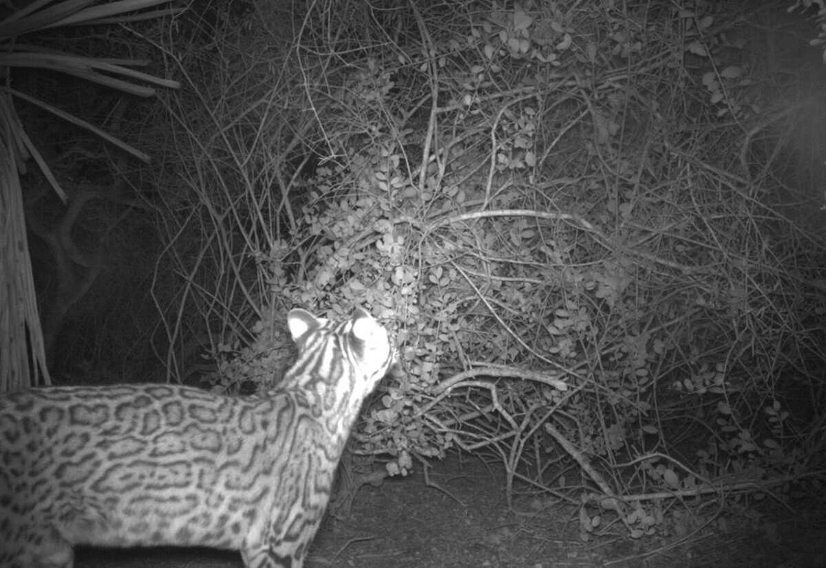 The new arrival has now been bestowed with a unique identifier, Ocelot OM344. and added to the USFWS population count as a