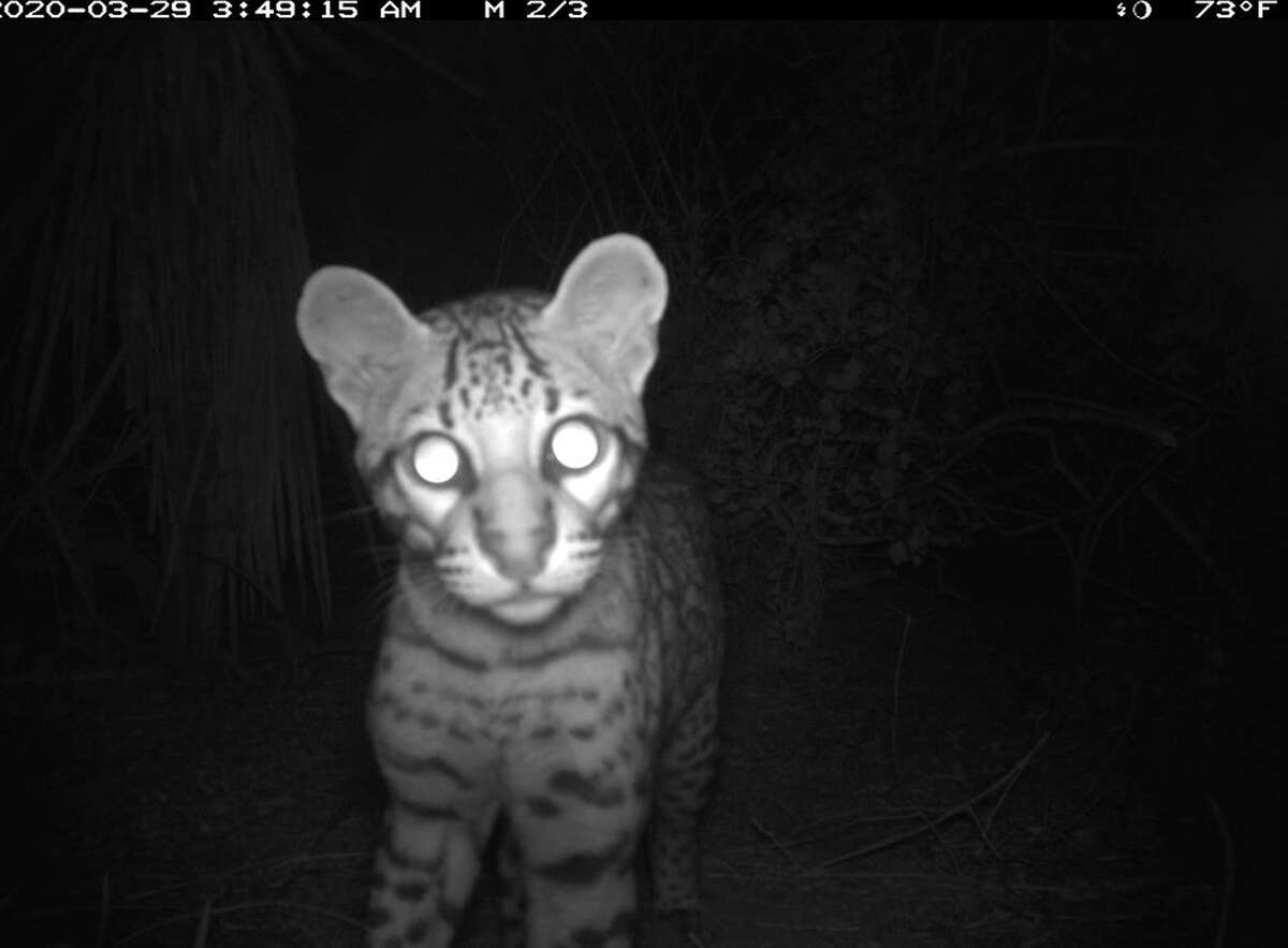 A new young male ocelot has been identified residing at the refuge. This wild cat was first detected by USFWS remote cameras on March 29, 2020 at Laguna Atascosa. A couple of months after this initial detection, he was again captured on camera.