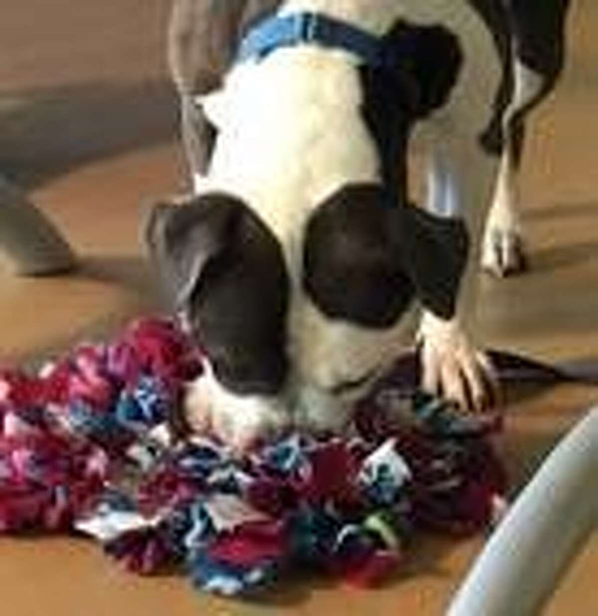 Mohawk Hudson Humane Society offered tips on helping pets deal with problem fireworks noises, which have been a problem in June 2020 as the pandemic continues and people are stuck at home. One recommendation was to provide what is called a snuffle mat, which is loaded with dry kibble and encourages their natural foraging instinct.