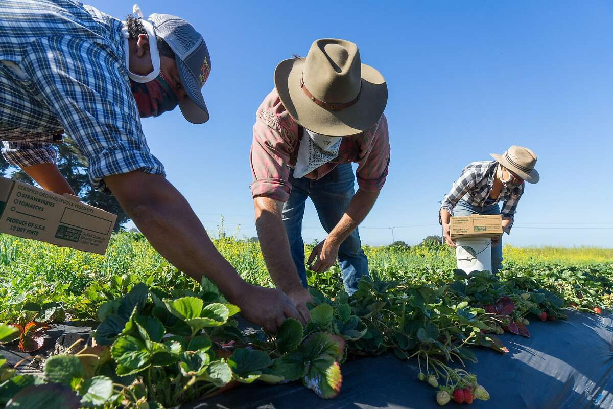 Left to right, Cristobal Cruz, Cole and Veronica Mazariegos-Anastassiou pick strawberries at Brisa de An� in Pescadero, Calif. on Wednesday, June 17, 2020. Farms that normally sell their produce to restaurants are instead distributing their food to low-income families through CSA boxes.