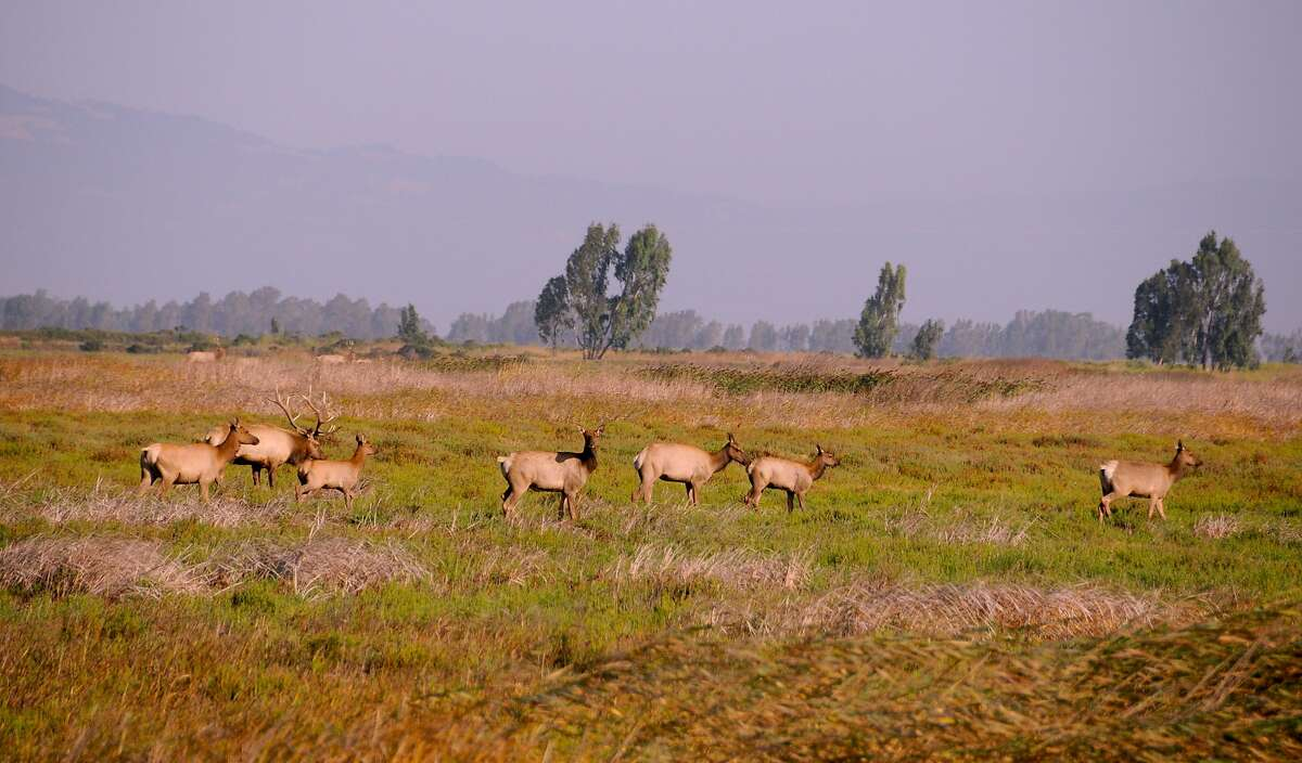 A big bull tule elk oversees his harem and calves at the Grizzly Island Wildlife Area