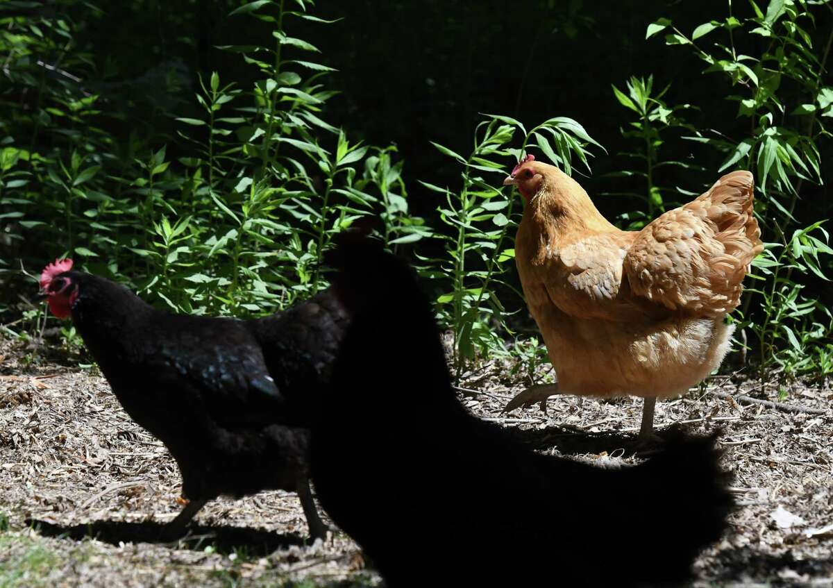 Cecilia Stern Frisenfelds' chickens have the run of her backyard pen on Monday, June 22, 2020, in Albany, N.Y. (Will Waldron/Times Union)