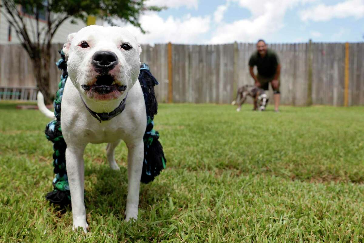 Luna (white) barks as owner Francisco Montez, right, holds Bruno (brindle spots) in the back yard of his home Saturday, Jun. 20, 2020 in Cypress, TX. Montez recently added Bruno to the mix this past week as a companion for Luna.