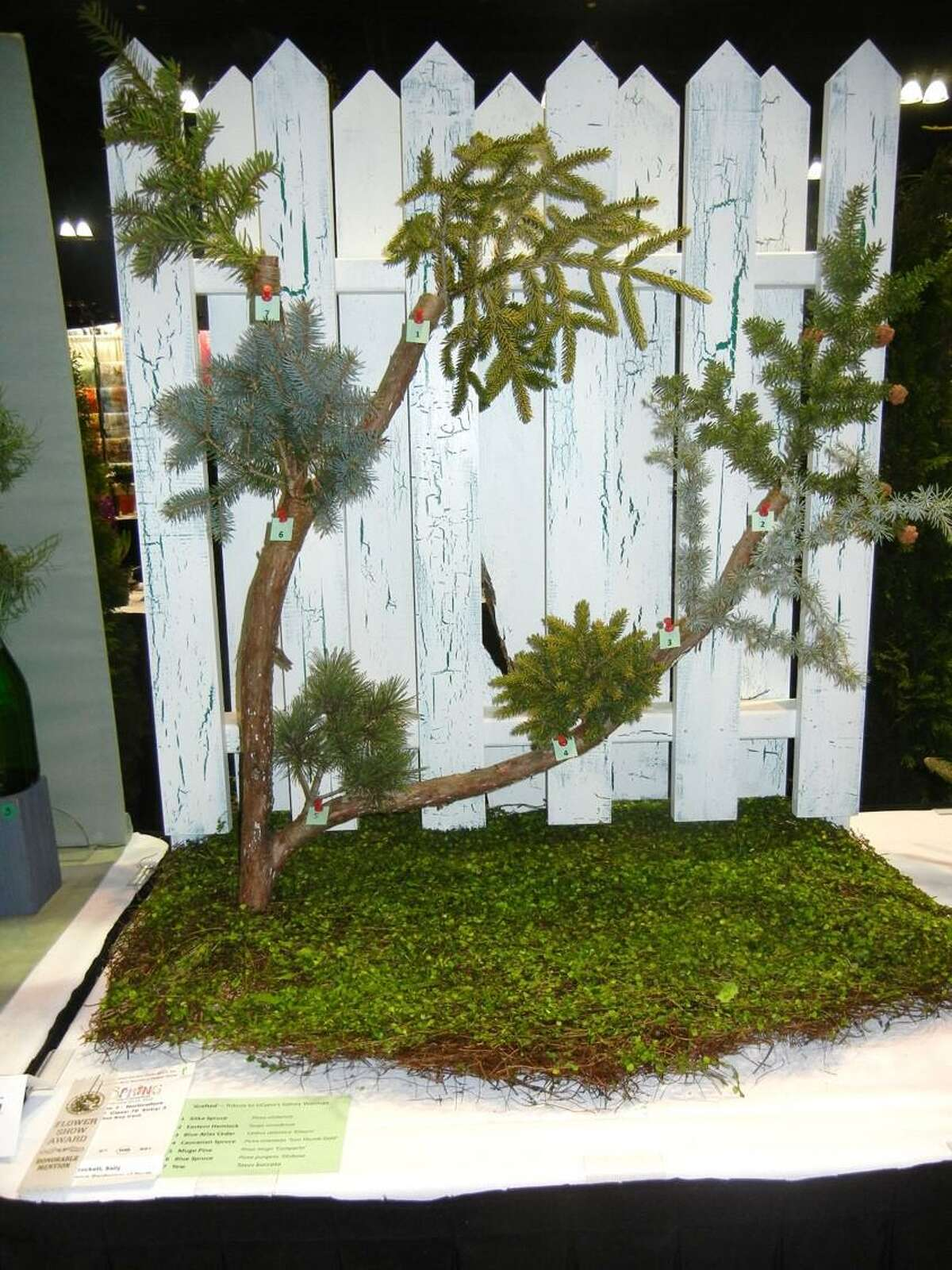 The Daytime Gardeners of North Haven were invited to display an arboreal exhibit at the Federated Garden Clubs of CT Flower Show, held in conjunction with the 39th Annual CT Flower & Garden Show in Hartford. The displays focused on cut needled evergreens and required a minimum of seven cut branches from trees grown by two or more club members. The branches were to be displayed in an artistic manner. A cedar branch was used as the support for the displayed samples and a picket fence was built to provide a backdrop that would accent the exhibited samples. The branches displayed were from Sitka spruce, Eastern hemlock, blue Atlas cedar, Caucasian spruce, mugo pine, blue spruce, and yew.