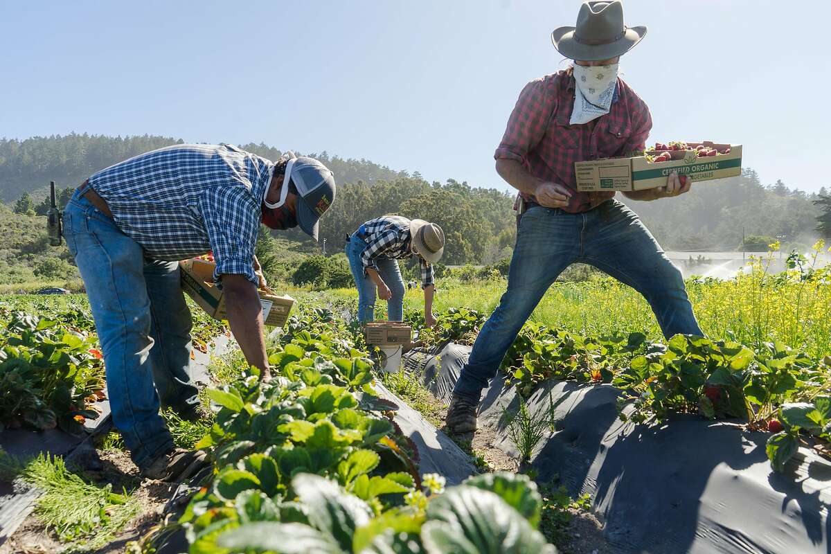 Left to right, Cristobal Cruz, Veronica and Cole Mazariegos-Anastassiou pick strawberries at Brisa de An� in Pescadero, Calif. on Wednesday, June 17, 2020. Farms that normally sell their produce to restaurants are instead distributing their food to low-income families through CSA boxes.