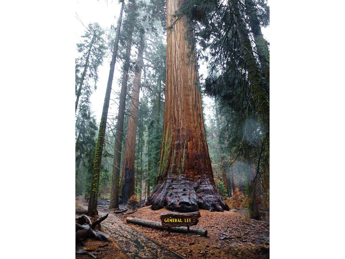 The General Lee tree in Sequoia National Park was named to honor Confederate General Robert E. Lee.