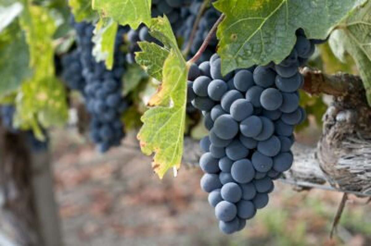 Wine grape clusters ready for harvest.