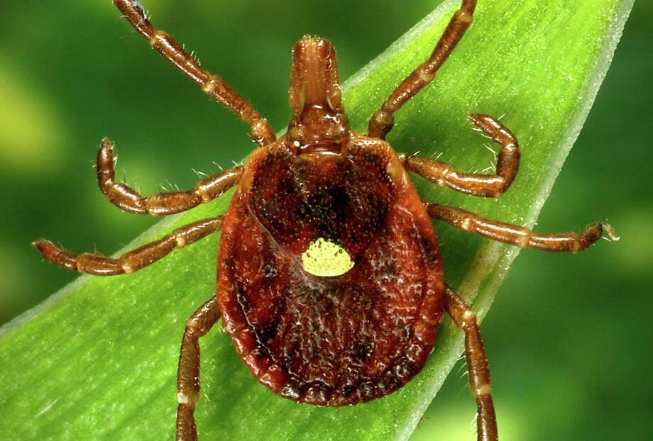 Lone Star ticks, named for the star-like spot on their bodies, are one of the most commonly encountered ticks in Texas. Photo: J. Gathany, HOGP / Photo Courtesy Of Centers For Disease Control / Internal