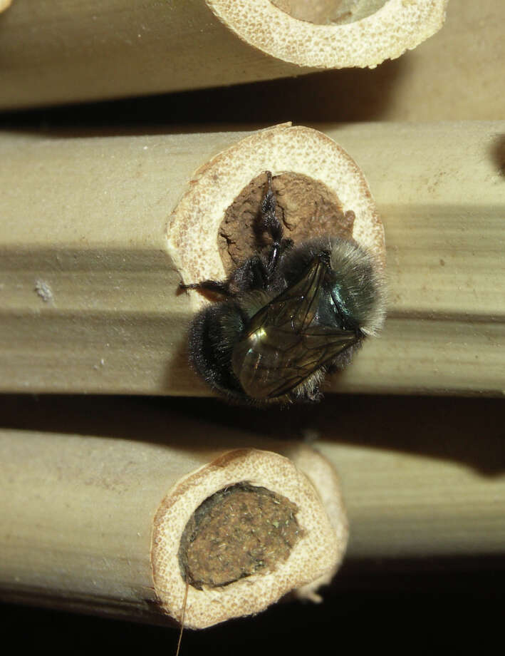 Species of mason bee are effective pollinators and are among wild bees most likely to use bee nests. Photo: Mace Vaughan/Xerces Society / The Washington Post
