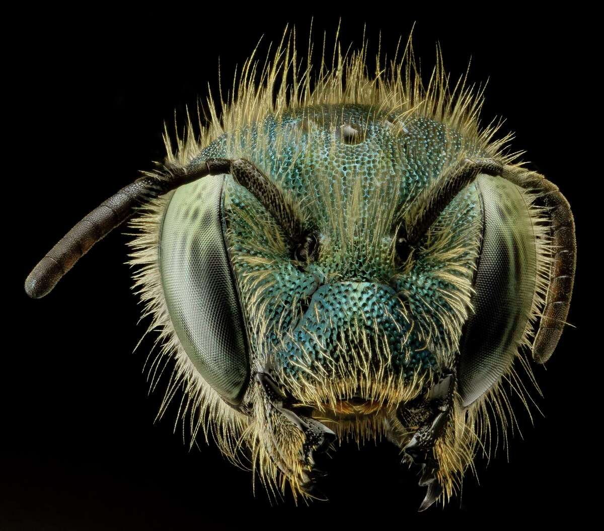 Furry but nonaggressive, the Osmia atriventris is one of our native mason bees. Scientists estimate an acre of land can support 25,000 wild bees per year.
