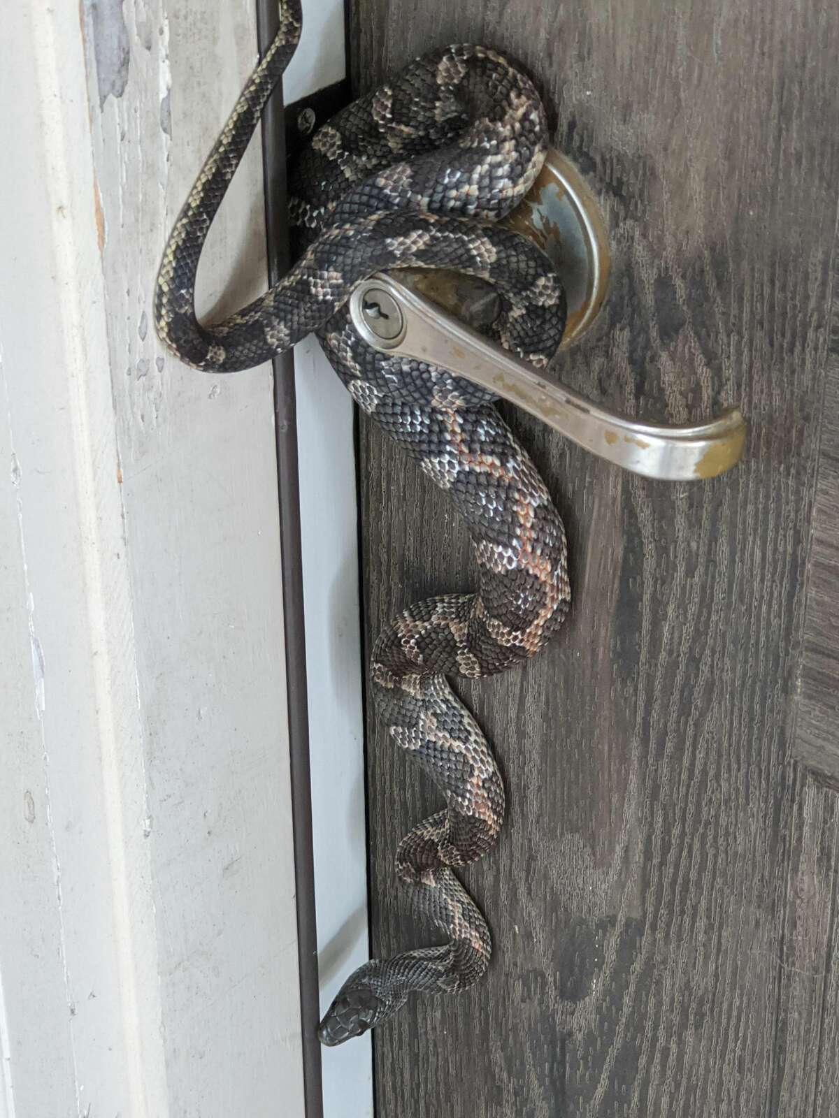"""When Jose Perez opened his front door on Sunday, he encountered an unexpected guest hanging on the door knob of his South Side home. The visitor was a """"huge'"""" rat snake, Perez said."""