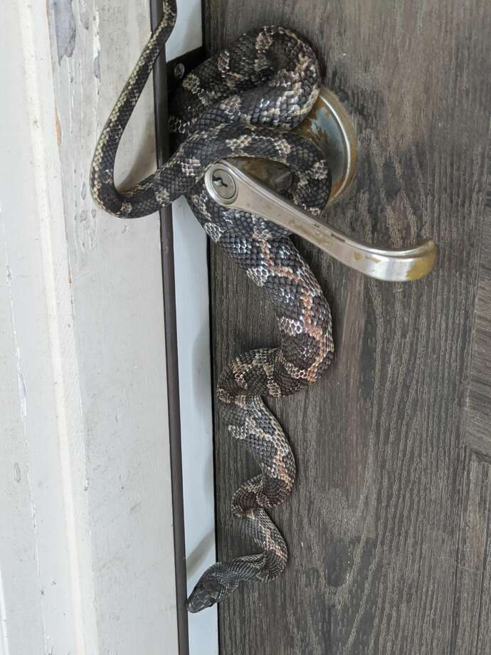 "When Jose Perez opened his front door on Sunday, he encountered an unexpected guest hanging on the door knob of his South Side home. The visitor was a ""huge'"" rat snake, Perez said. Photo: Courtesy"
