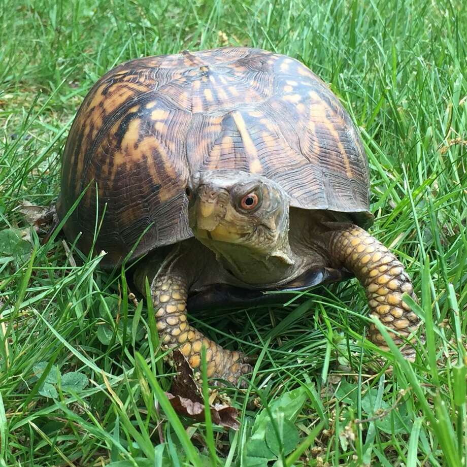 Get to know some turtles while enjoying libations at Woodcock Nature Center's Toast & Turtles on Sept. 23. Photo: Sam Nunes / Woodcock Nature Center / Wilton Bulletin Contributed