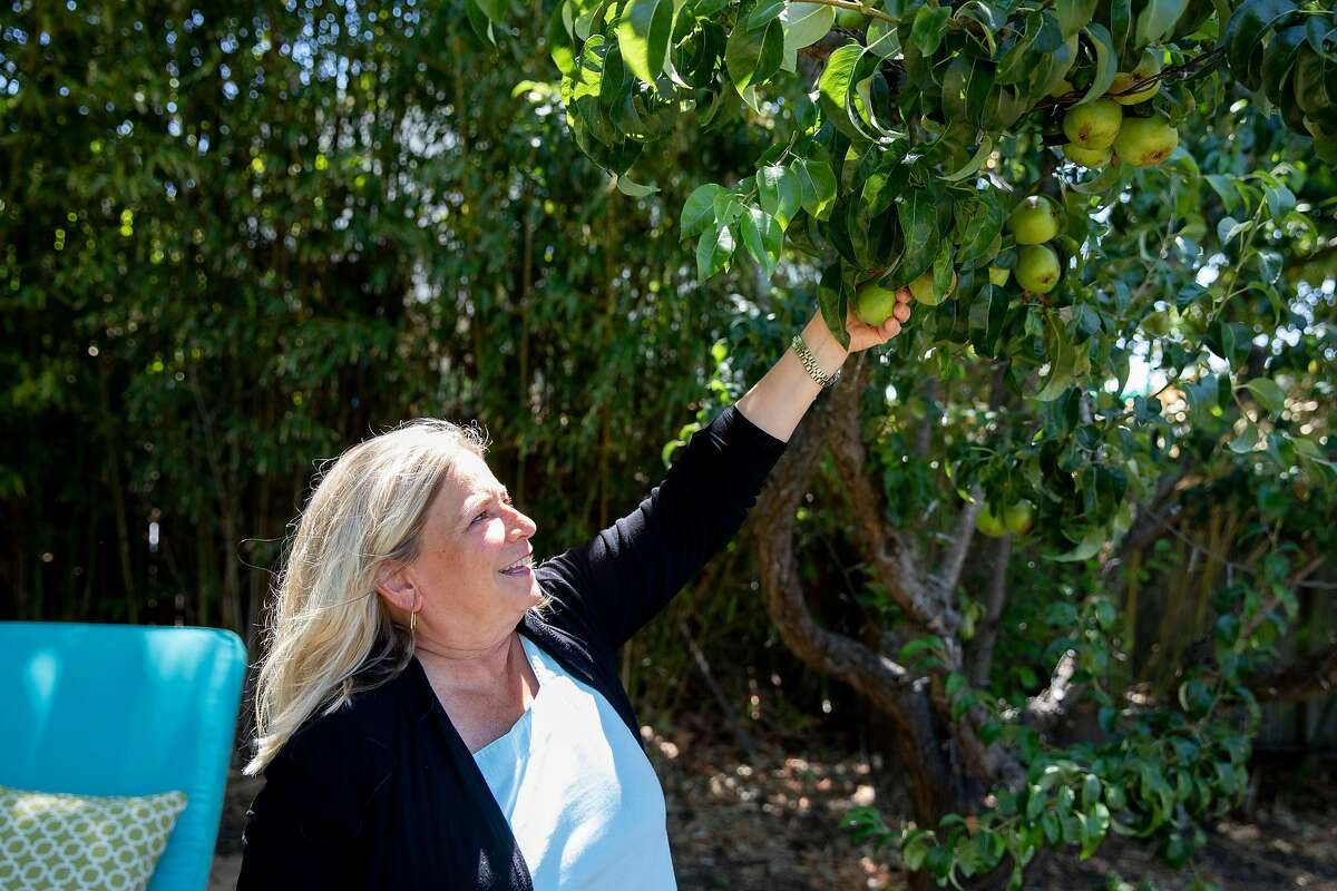 AnneMarie Martins picks a pear from a tree in her backyard garden at her home in Benicia, Calif. Tuesday, June 23, 2020. Martins was laid off from her job as a booking agent for the music industry. She's planted an extra-big garden so she can donate produce to food banks.