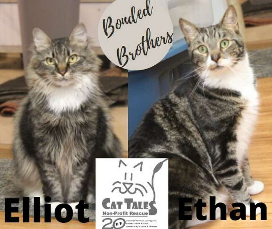 Three-year olds, Elliot and his brother Ethan are a bonded, sibling pair of brown tabbies.Elliot needs time to get to know you and is very cuddly once he does. Ethan is outgoing and seeks affection. The person or family to adopt them would give them time and their own space to adjust to their new surroundings. They are loving and playful cats and would make a wonderful addition to a patient and understanding adopter. Visit http://www.CatTalesCT.org/cats/Elliot, call 860-344.9043, or email: info@CatTalesCT.org. Watch our TV commercial: https://youtu.be/Y1MECIS4mIc Photo: Contributed Photo
