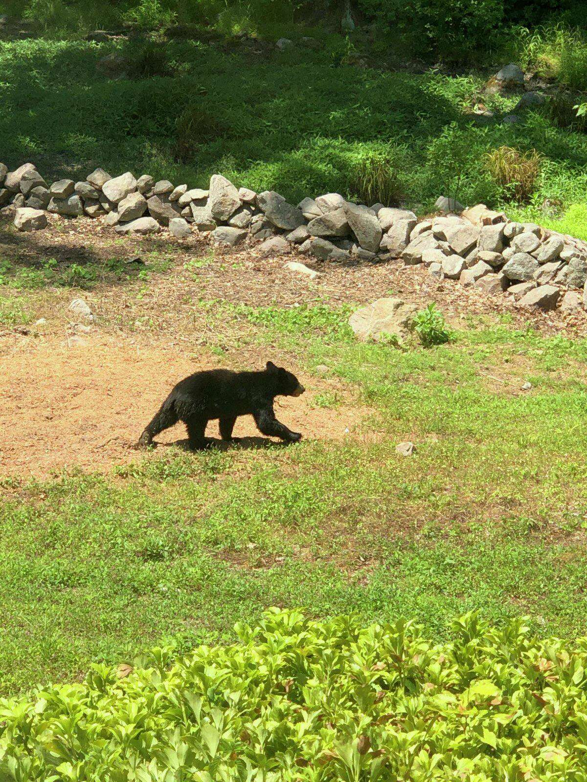 A baby bear is in the backyard of New Canaan resident Susan Serven's nextdoor neighbor's backyard at 174 Mariomi Road in New Canaan Friday, afternoon, June 26, 2020. Serven's nextdoor neighbors who live at the mentioned address are: John, and Jennifer Ruth, and their son Adam Ruth. Adam took the photo. Jennifer then asked Serven to send the photo to the New Canaan Advertiser. Serven then e-mailed it to the Advertiser.