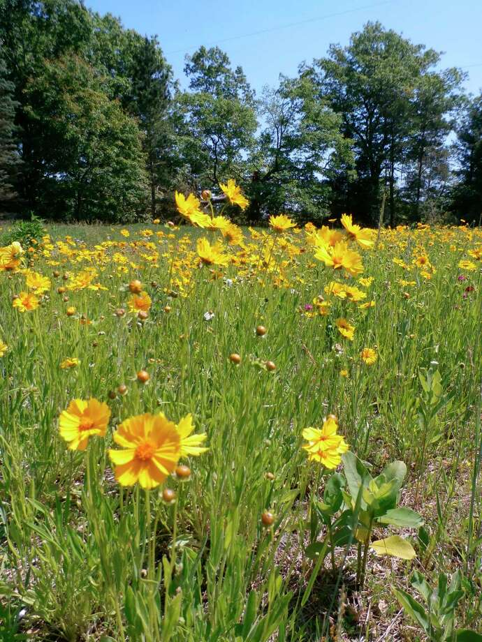 Coreopsis (Photo provided/McLean Nature Preserve)