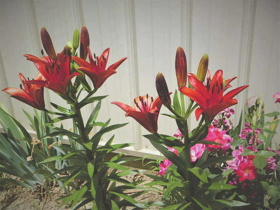 Burgundy lilies make a surprise appearance in reader Dianne Dooley's yard. Photo: Dianne Dooley