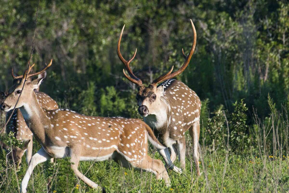 Nearly 9,500 permits in 56 categories - including exotics like axis deer - will be up for grabs this year in TPWD's lottery-style drawn hunt program. Beginning in early July, hunters can apply for permits.