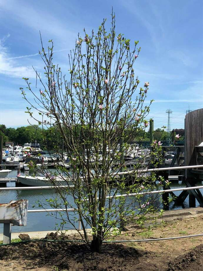 The Greenwich Tree Conservancy is continuing its work planting trees in town parking lots. Several trees were recently put in at the Cos Cob Marina parking lot, including the one above, with more plantings planned for next spring. Photo: Contributed /