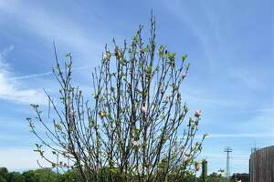 The Greenwich Tree Conservancy is continuing its work planting trees in town parking lots. Several trees were recently put in at the Cos Cob Marina parking lot, including the one above, with more plantings planned for next spring.