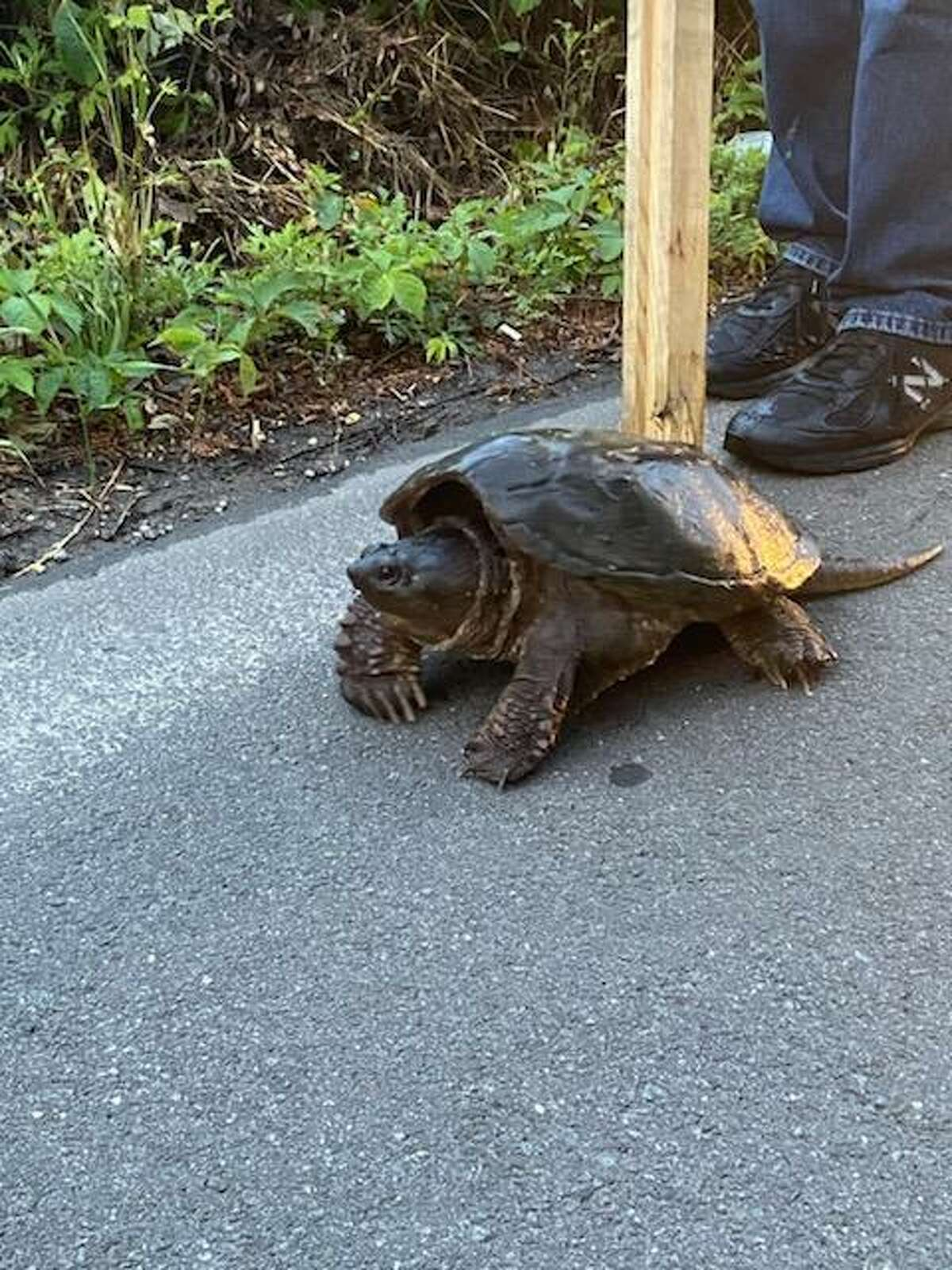 Bruce Pelaccio was on his way to work at Lowe's in Danbury when he spotted this snapping turtle in the middle of the road, so he stopped to move it across the road to safety.